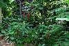 <b>Chenille Plant</b> <i>(Acalypha hispida)</i>