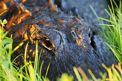 Close up shot of an alligator on the Anhinga Trail at sunset.