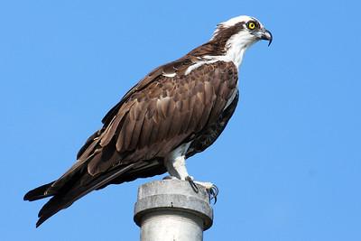 Osprey looking for dinner.