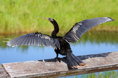 An Anhinga drying its wings on a fence along the Anhinga Trail in the Everglades.