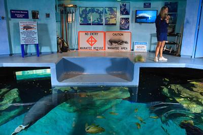 Manatees at the Aquarium