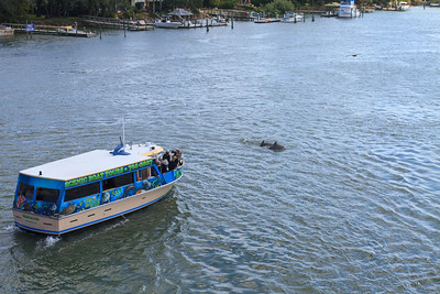 Dolphins Near the Riverview