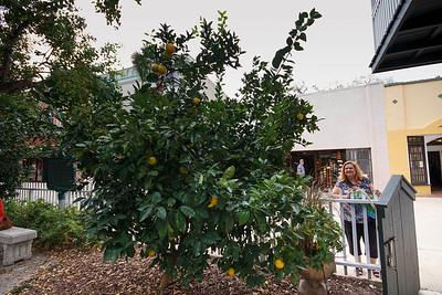 Orange Tree, Dr Peck House