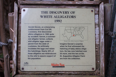 The Discovery of White Alligators