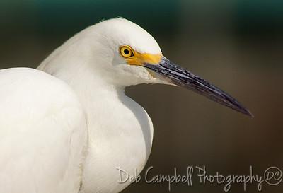 Snowy Egret Portrait Gatorland Bird Rookery