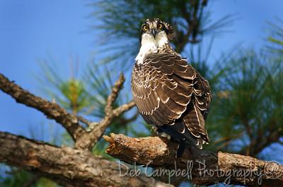 Juvenile Osprey  St. Lucie River Port St. Lucie, Florida