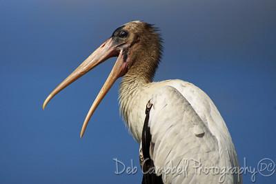 Juvenile Wood Stork Gatorland Bird Rookery