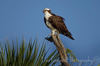 Osprey  St. Lucie River Port St. Lucie, Florida