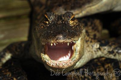 American Alligator (captive) Gatorland Orando, Florida