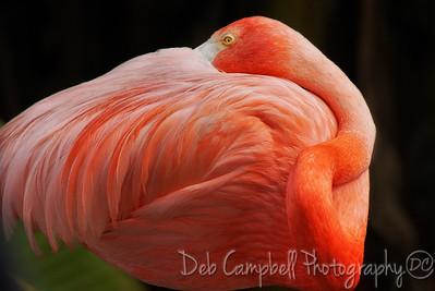 American Flamingo Portrait Gatorland Bird Rookery