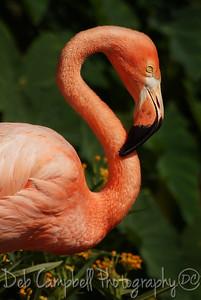 American Flamingo  Gatorland Bird Rookery