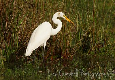 Great White Egret Joe Overstreet Road Near Lake Kissimmee Kenansville, Florida