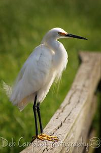 Snowy Egret Gatorland Bird Rookery