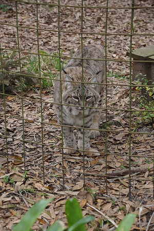 Big Cat Rescue - Tampa