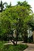 Plumeria commonly known as Frangipani