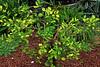 Key Lime in the Edible Garden