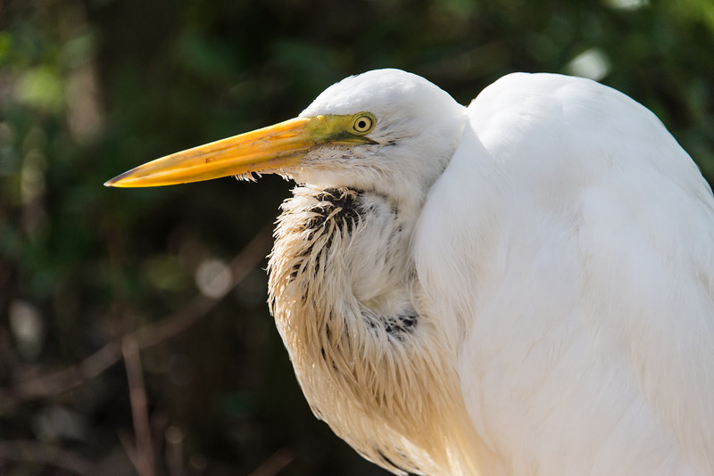 Great Egret, Islamorada, Florida - December 2013