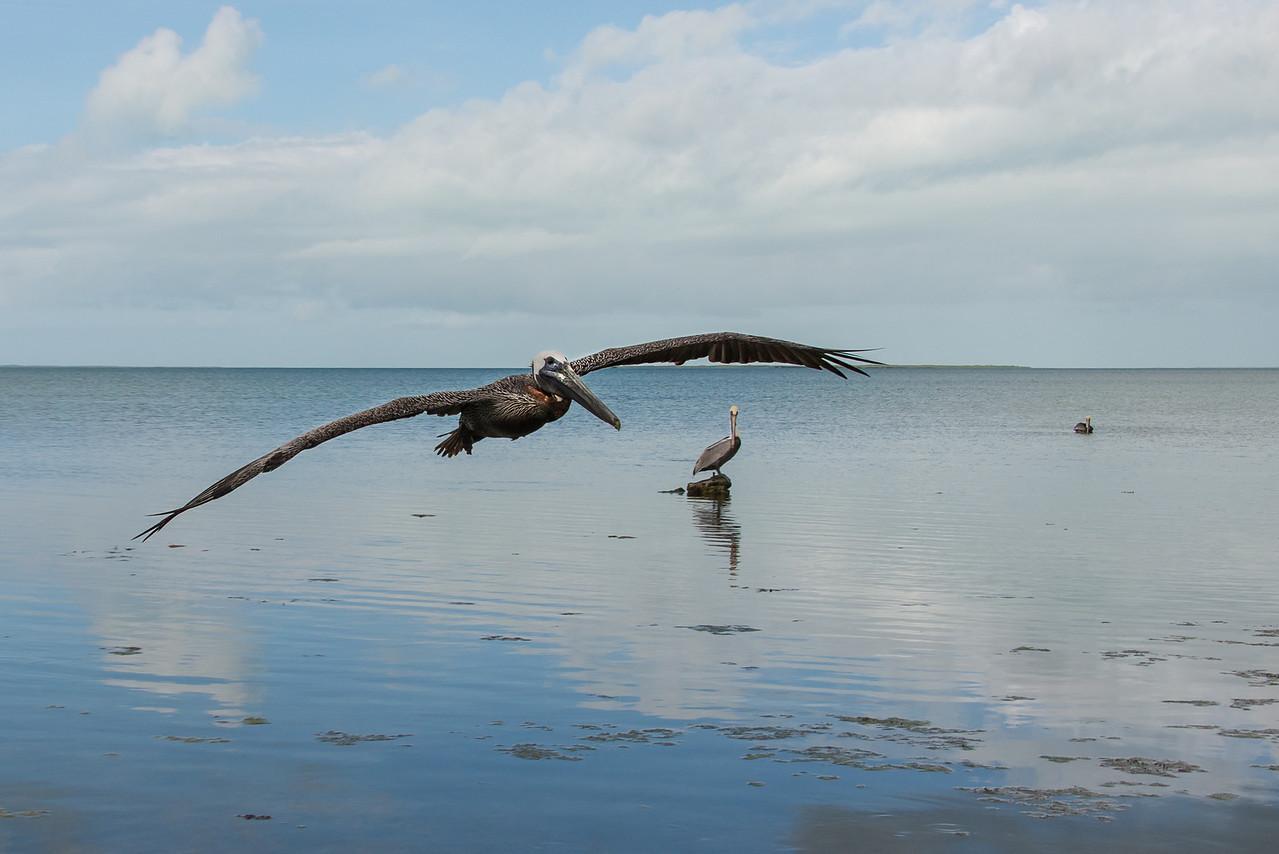 Pelican, Islamorada, Florida - December 2013