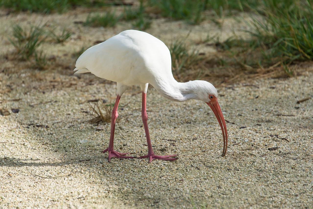 White Ibis, Islamorada, Florida - December 2013