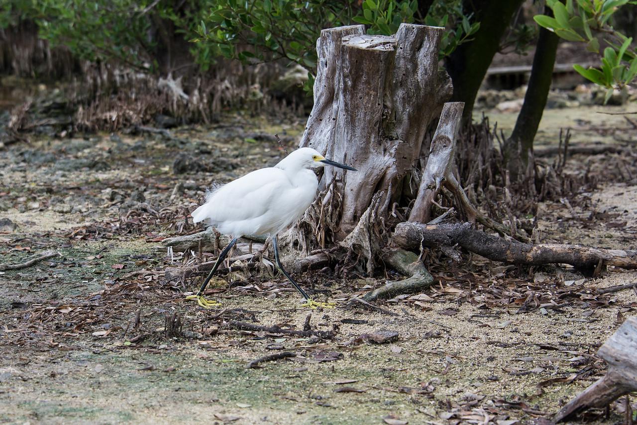 Great Egret, Islamorada, Florida - December 2013