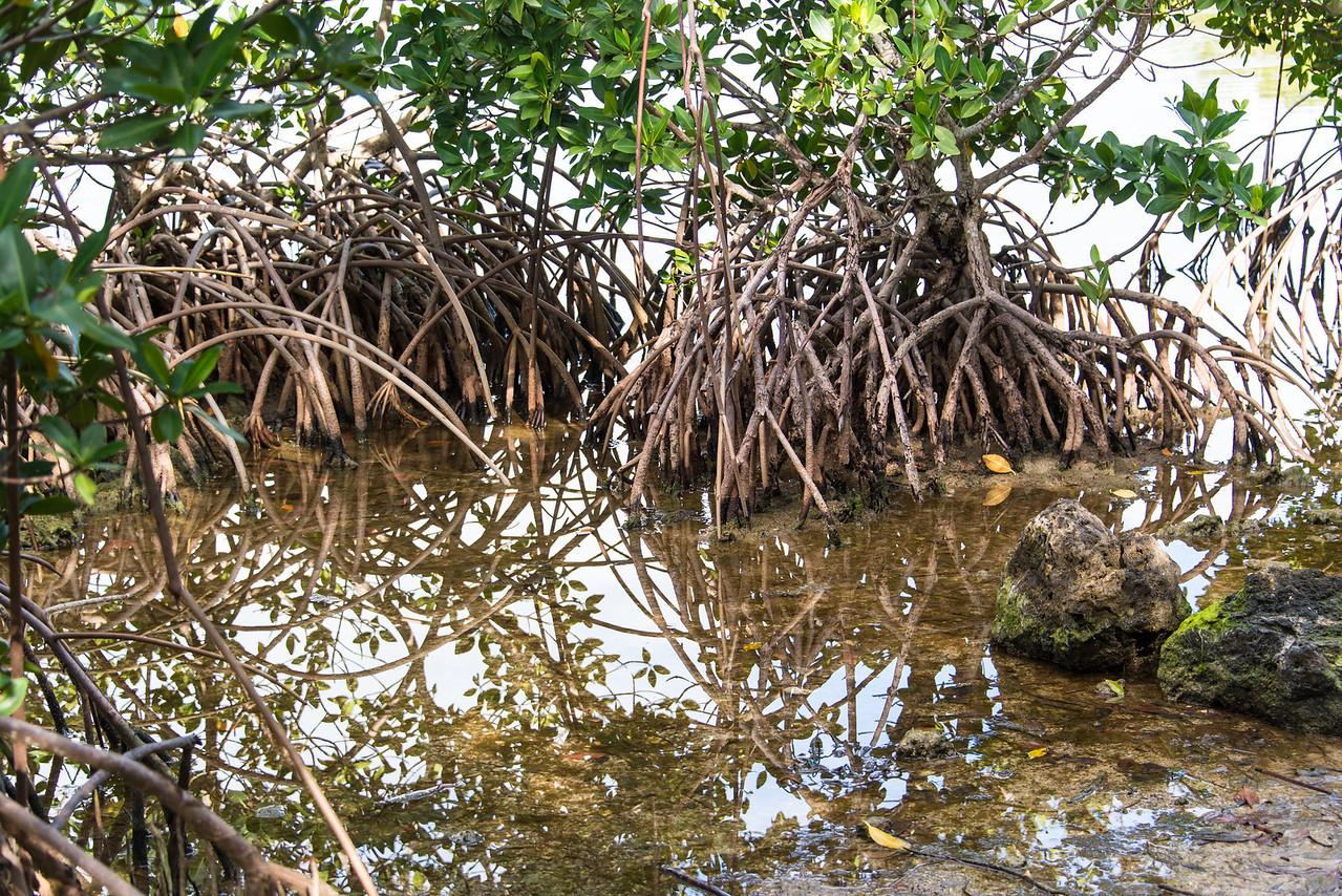 Mangroves, Islamorada, Florida - December 2013