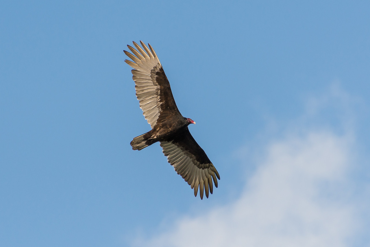 Turkey Vulture, Islamorada, Florida - December 2013