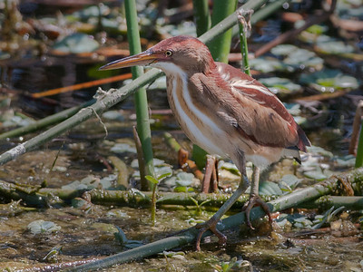 Least Bittern, taken at the Green Cay Wetlands, Boynton Beach, Florida.