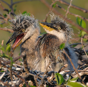 Great Blue Heron chicks, taken at the Wakodahatchee Wetlands, Delray Beach, Florida.