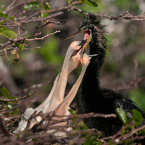Anhinga male feeding his chicks, taken at the Wakodahatchee Wetlands, Delray Beach, Florida.
