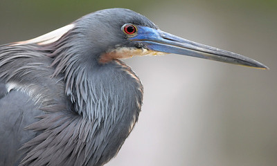 Tricolor Heron, taken at the Green Cay Wetlands, Boynton Beach, Florida.