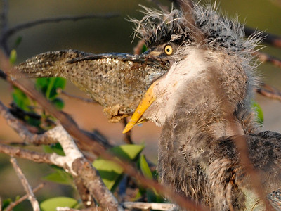 Great Blue Heron chick attempting to swallow a fish, taken at the Wakodahatchee Wetlands, Delray Beach, Florida.