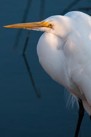 Common Egret.