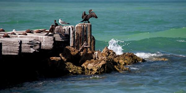 Cormorant, Anhinga and Gull