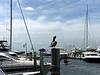 Brown Pelican at Prime Marina on Bayshore Drive