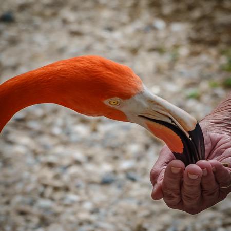 Sarasota Jungle Gardens - Lorna Feeding-04228