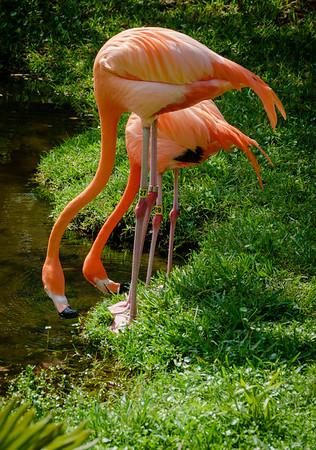 Sarasota Jungle Gardens-In Tandem-04274