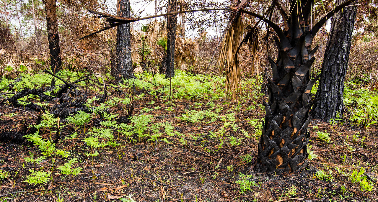 New growth at controlled-burn site, CREW Marsh Trail, FL - January 2018