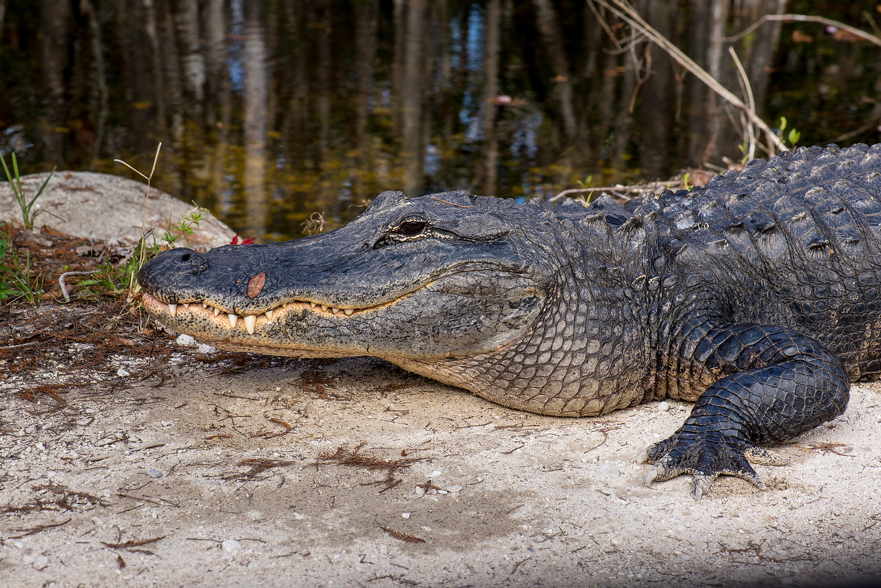 Alligator at Fakahatchee Strand Preserve State Park, FL - January 2018