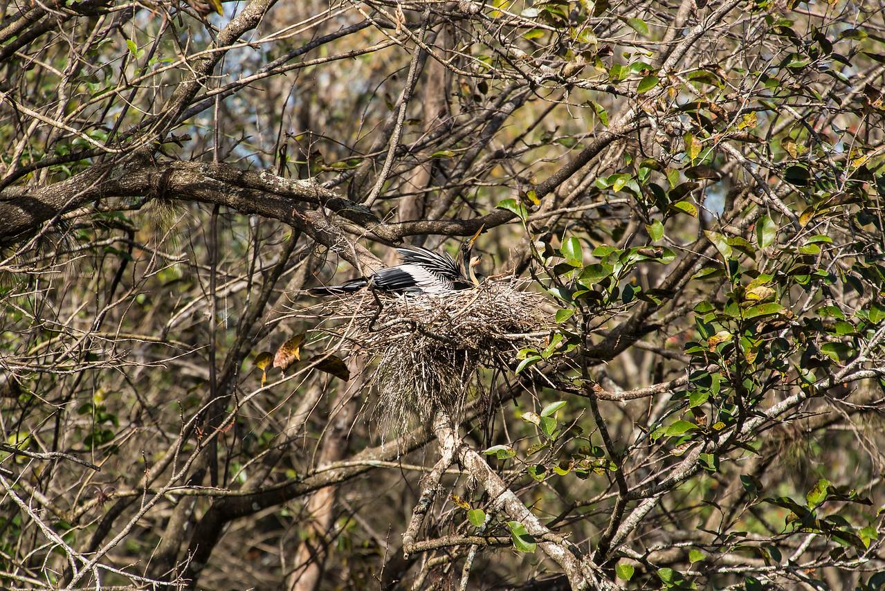 Anhinga with chic in nest, Corkscrew Swamp Sanctuary, FL - January 2018