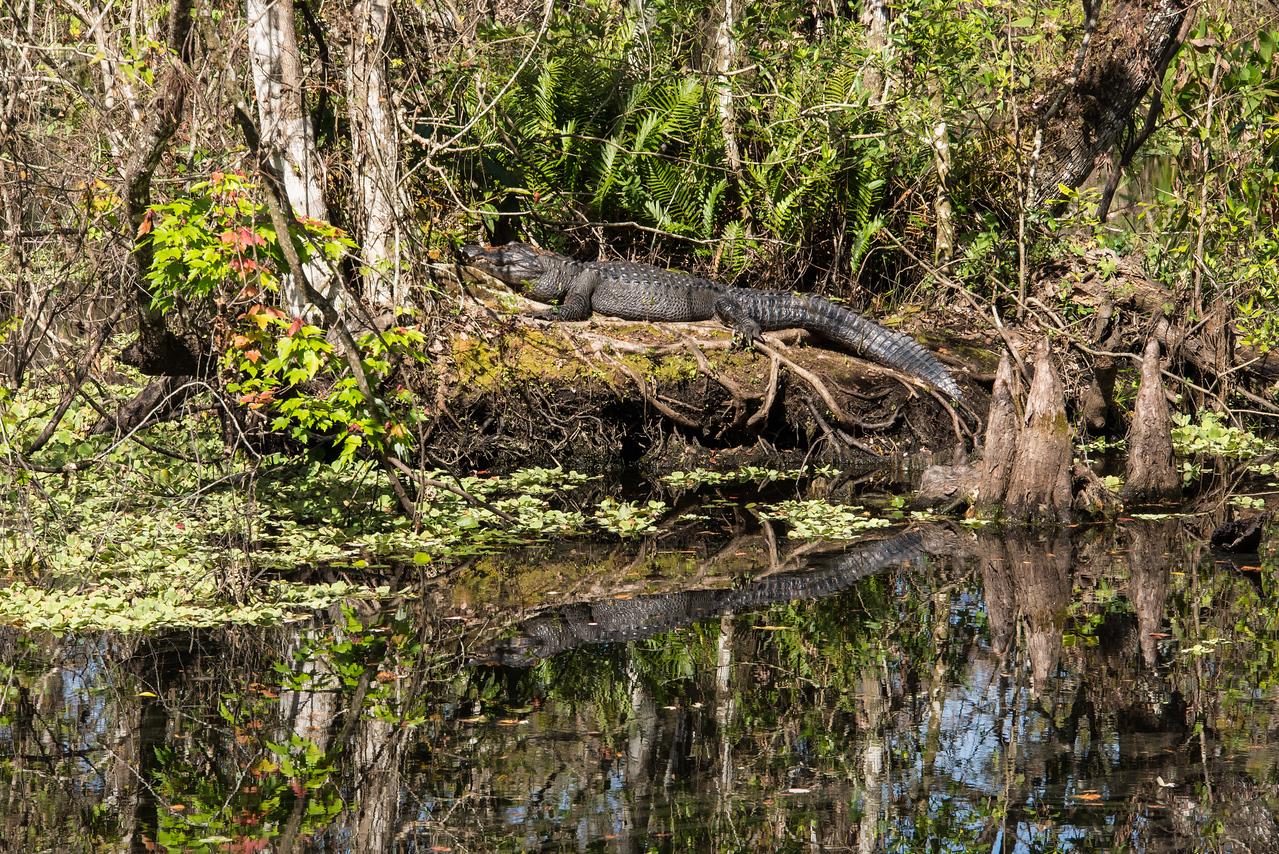 Alligator sunning itself at Lettuce Lake in Corkscrew Swamp Sanctuary, FL - January 2018