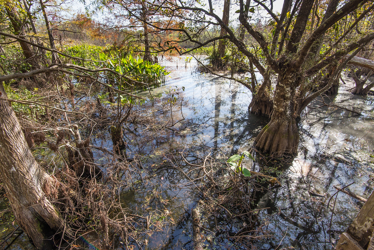 Cypress Trees at Corkscrew Swamp Sanctuary, FL - January 2018