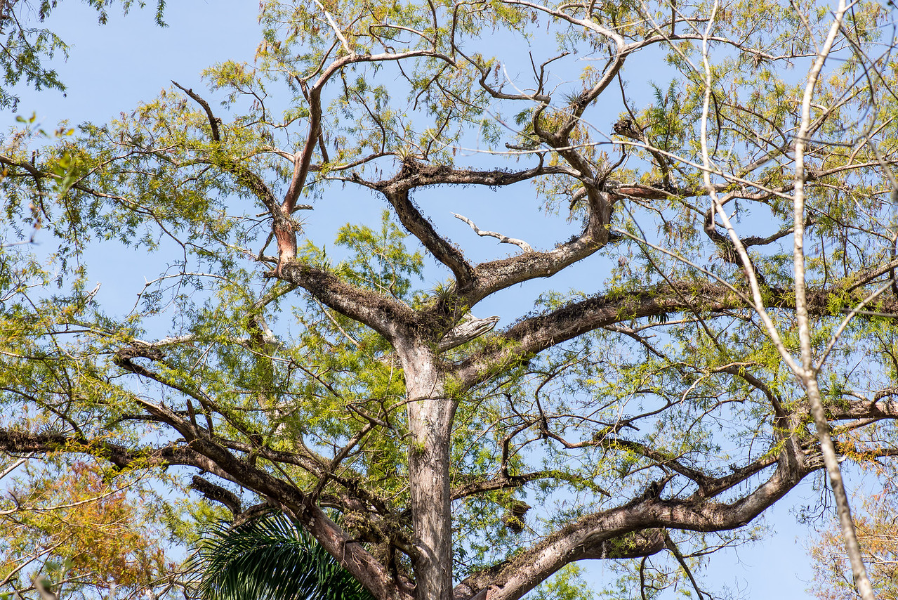 Cypress Tree at Corkscrew Swamp Sanctuary, FL - January 2018