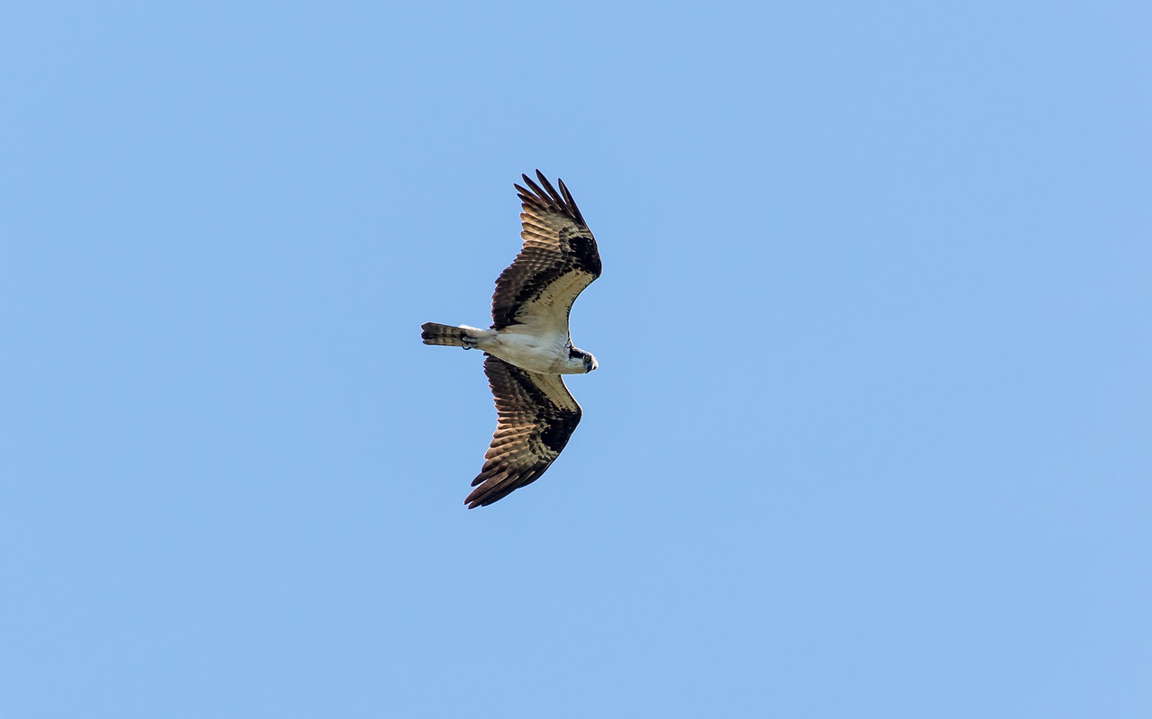 Osprey circling overhead at Ten Thousand Islands National Wildlife Refuge, FL - January 2018