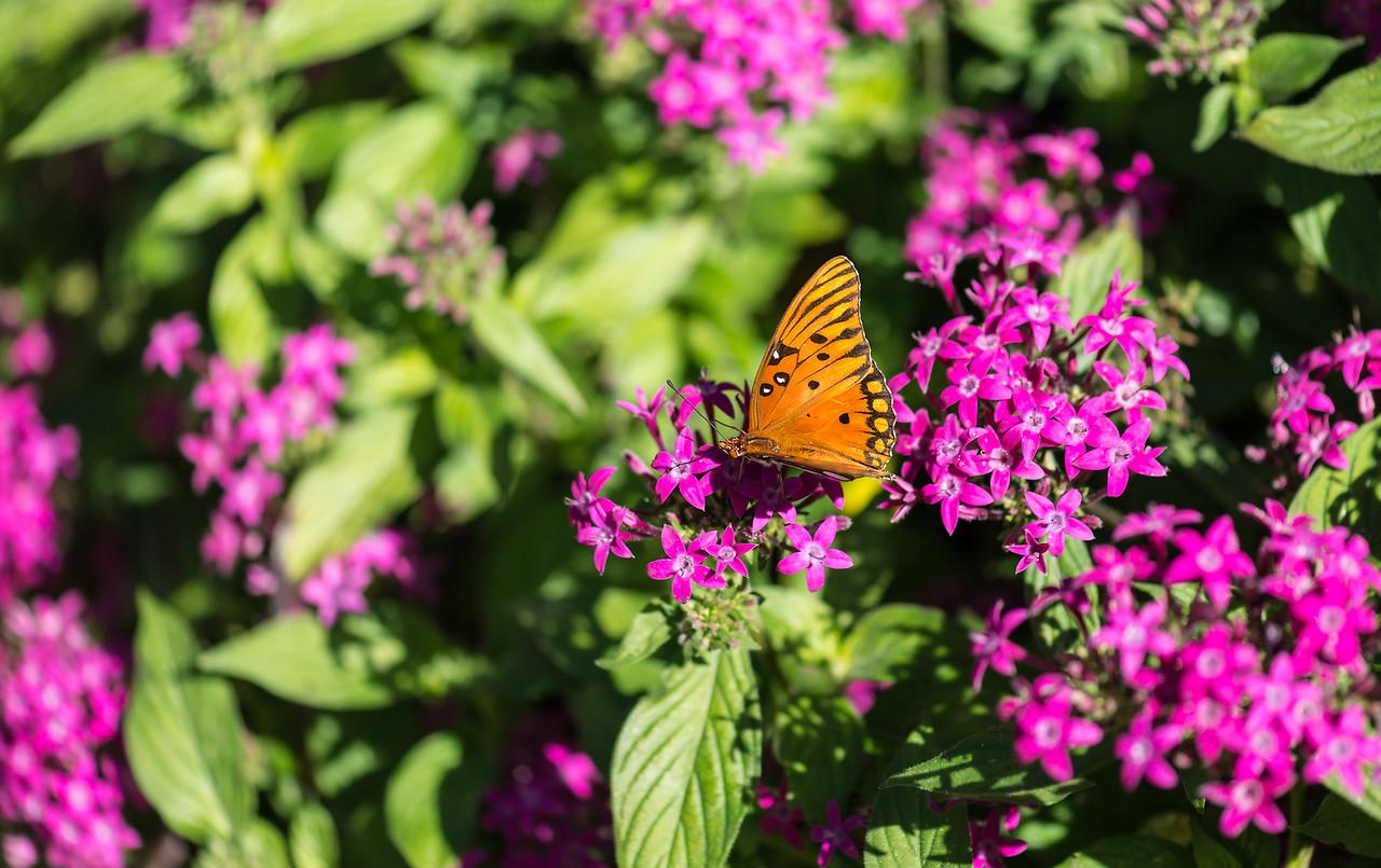Gulf Fritillary butterfly at Naples Botanical Garden, FL - January 2018