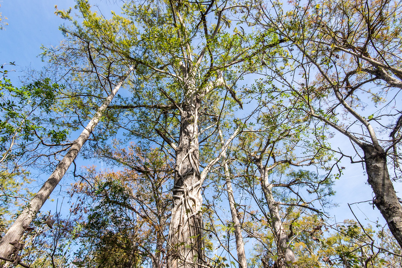 Calusa Tree in Corkscrew Swamp Sanctuary, FL - January 2018