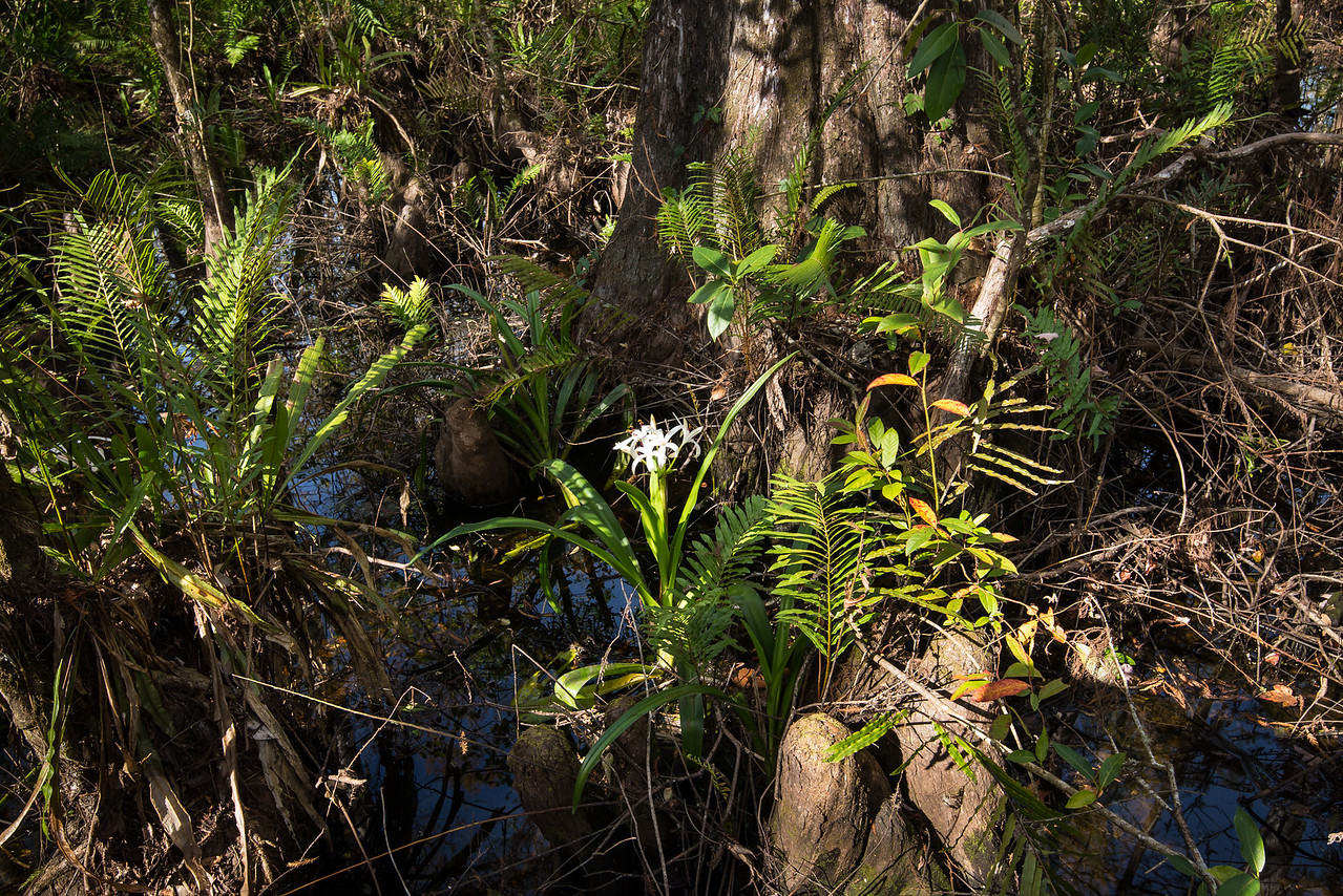 Swamp Lilly at Corkscrew Swamp Sanctuary, FL - January 2018