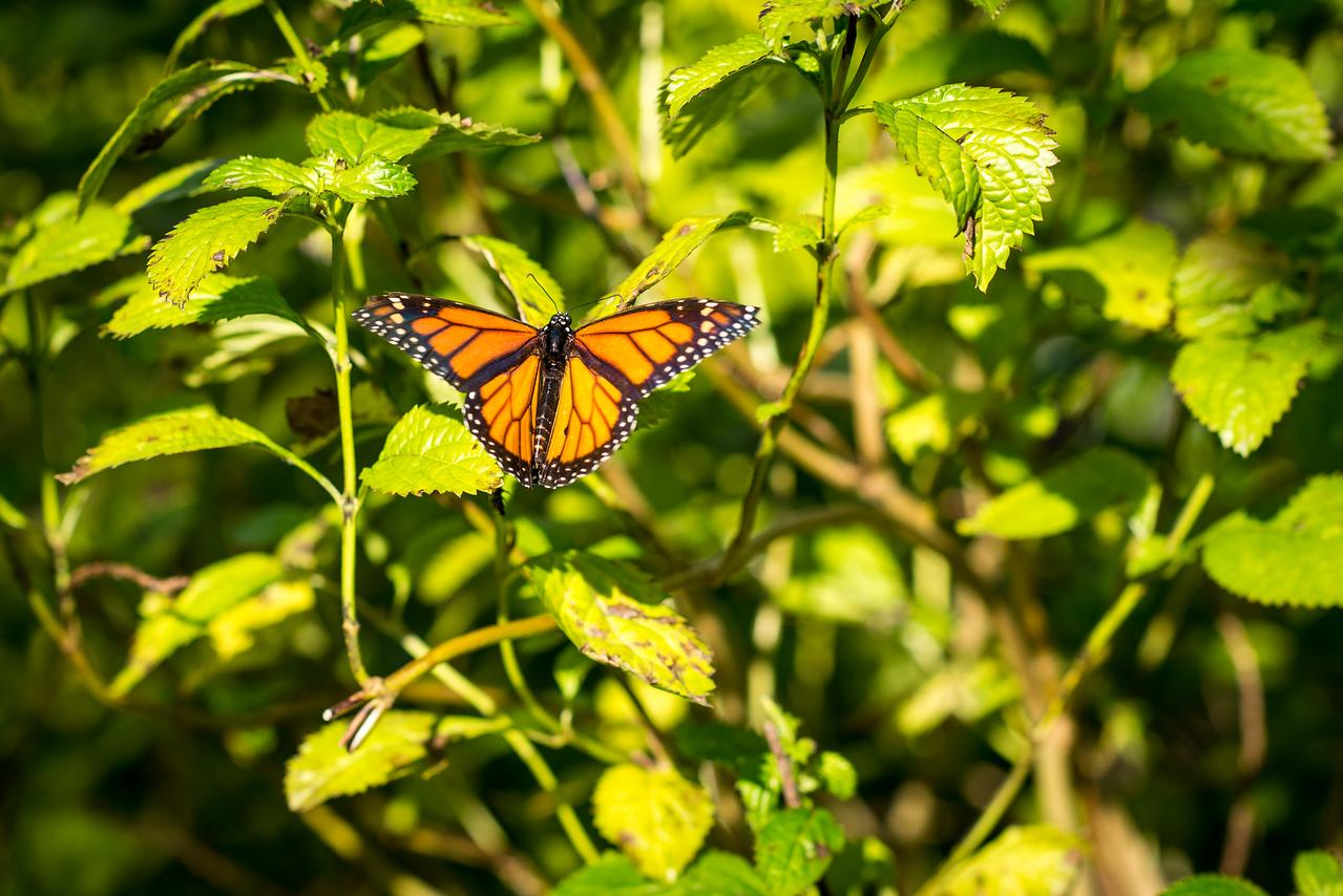 Monarch butterfly at Naples Botanical Garden, FL - January 2018