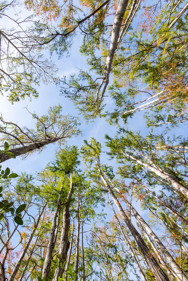 Looking up in Corkscrew Swamp Sanctuary, FL - January 2018