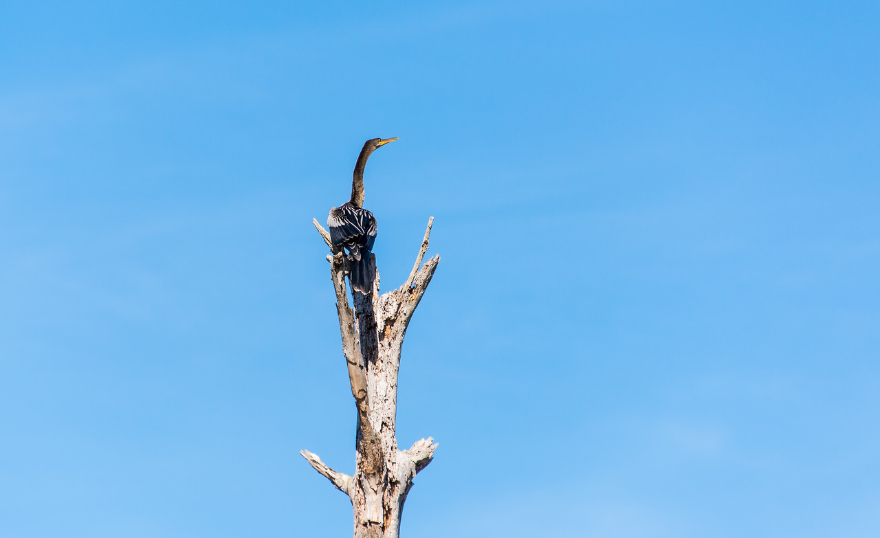 Anhinga perched on dead tree at Naples Botanical Garden, FL - January 2018