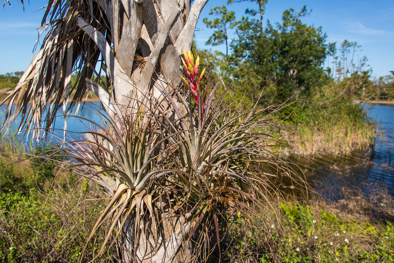 Blooming Air Plants on Palm at Naples Botanical Garden, FL - January 2018